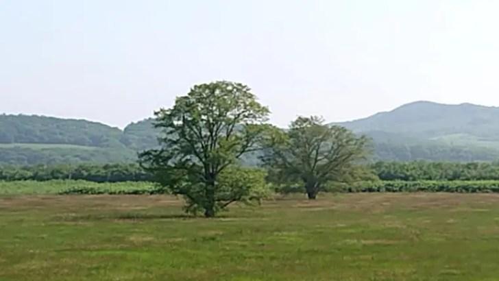 豊頃町・ハルニレの木