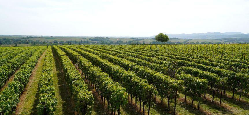valles costeros para pisco, valles peruanos, cultivos de uvas pisqueras, uvas para el pisco