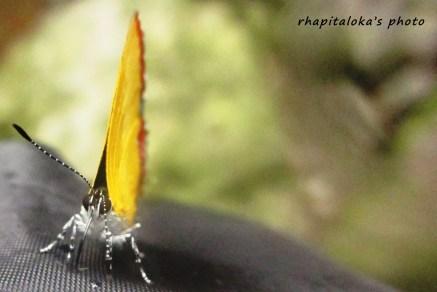 Kupu-kupu 1 lagi