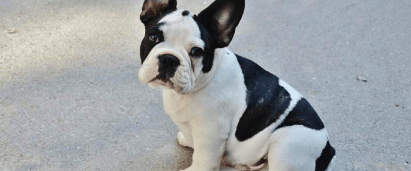 10 rase de câini adorabili
