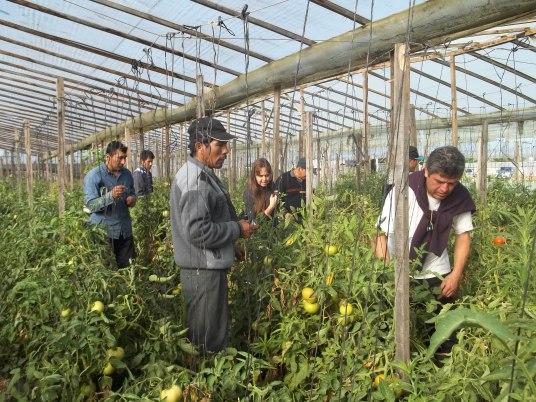 Figura 1. Reconocimiento de plagas y sus enemigos naturales en cultivo de tomate (1º jornada)
