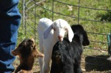 Besides the catlle, the ranch also raises goats.