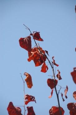 redbud