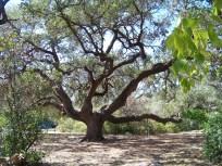 Crooked Oaks