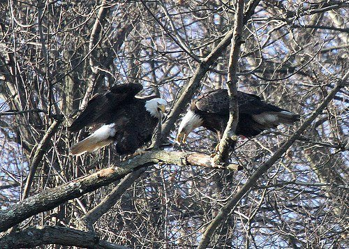 Bald Eagles in Hays Woods