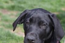Great Dane Puppies 14