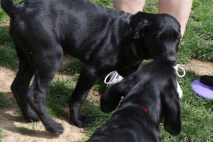 Great Dane Puppies 10