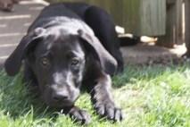 Great Dane Puppies 8