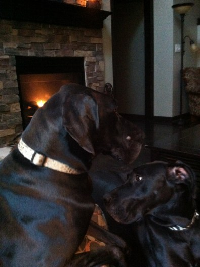 Twins pittsburgh great dane rescue (23) (765x1024)