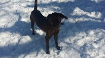 Moose Pittsburgh great dane rescue (5) (1024x576)