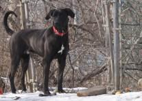 Boomer PA Great Dane Rescue (29)