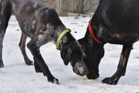Pepper PA Great Dane Rescue (5)