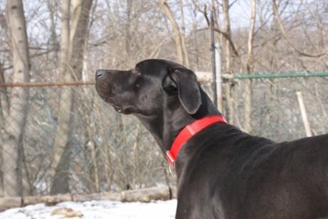 Boomer PA Great Dane Rescue (9)