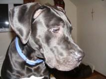 Dutchess PA Great Dane Rescue (4)