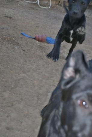 Puppies pa great dane rescue (18) (685x1024)