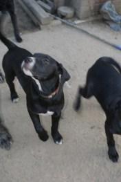 Puppies pa great dane rescue (9) (685x1024)