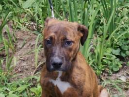 Hazel Great Dane rescue puppy (7)