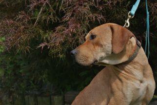 Riley Pa Great Dane Rescue (4)