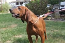 Jake PA Great Dane Rescue (7)