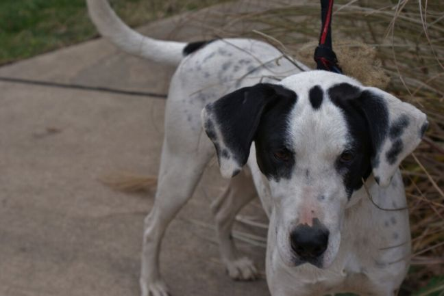 Chester Pittsburgh Great Dane (1)