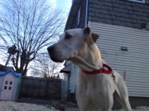 Dixie Pittsburgh Great Dane Rescue (3)