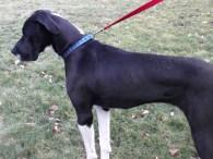 Juno Pennsylvania Great Dane (1)