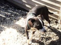 Bria PA Great Dane Rescue (3)