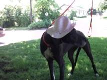 Ophelia PA Great Dane Rescue (5)