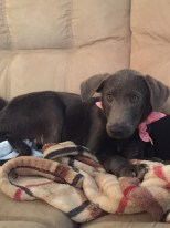 rescue-pa-great-dane-puppy-4