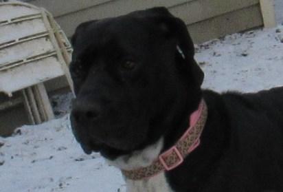 Paige Pa Great Dane Rescue (3)