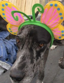 Tilly PA Great Dane Rescue (3)
