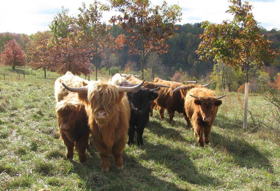 About Scottish Highland Cattle