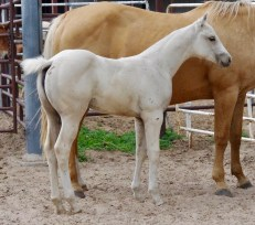 2017 Palomino Filly DGJ X Red Bucks Dolly