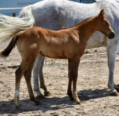 Favorable Intentions X Zips Dakota Anna Filly