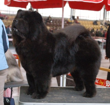 Kennel Piuk Chow