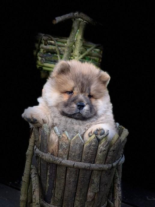 Piuk Chow Puppie