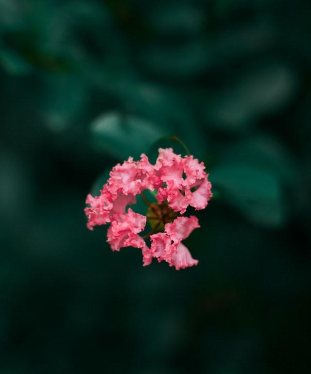 Pink Flowers on Dark Background