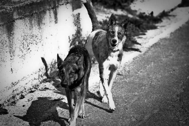 Black and White Stray Dogs