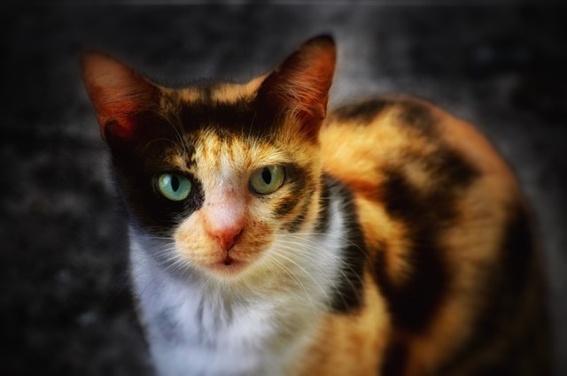 Black and Yellow Cat