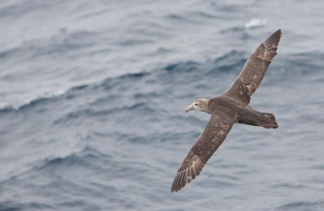 Brown Albatross Bird