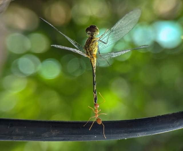 An ant contacting a dragonfly