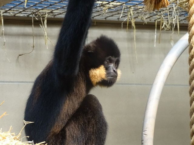 Langur holding on to its cage