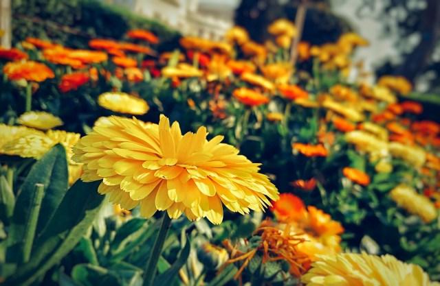 Yellow and Orange Flowers in Garden