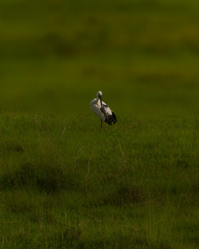 A heron on the grass