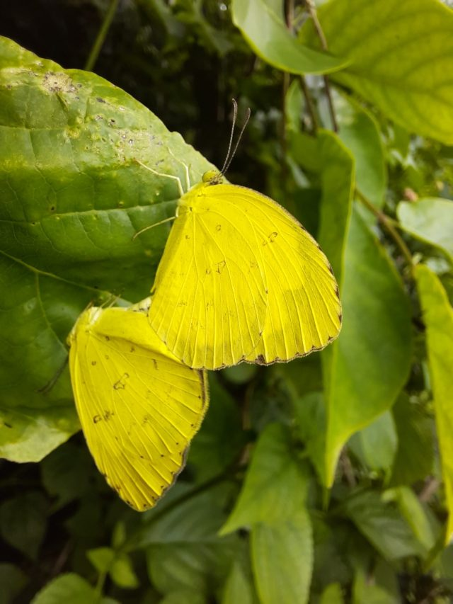 A pair of butterflies on a leaf