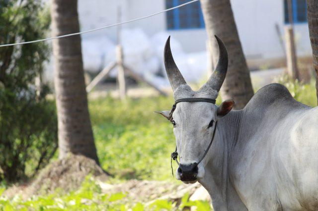 A pet bull with sharp horns
