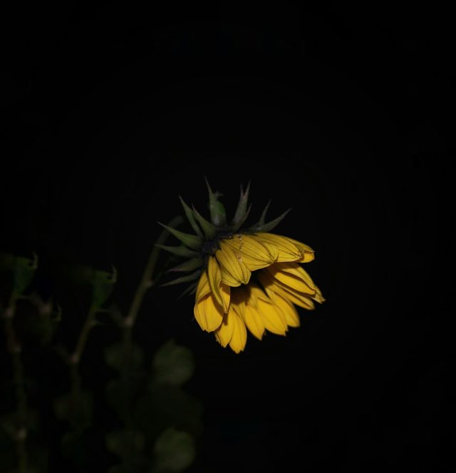 A sunflower during night