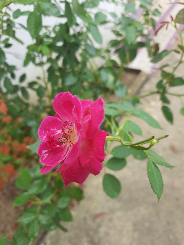 Beautiful pink rose flower on Focus