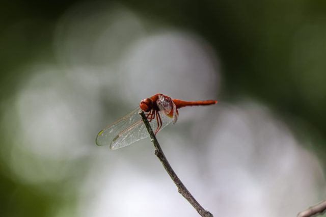 Beautiful red dragonfly