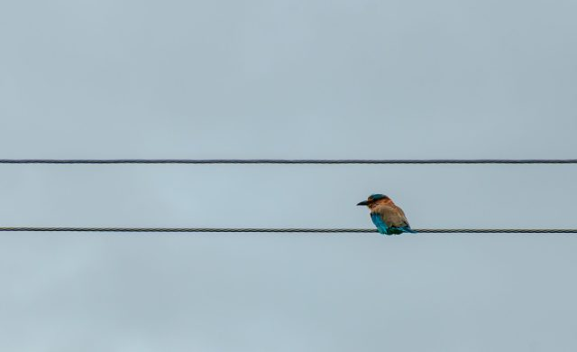 Bee-eater on the Wire